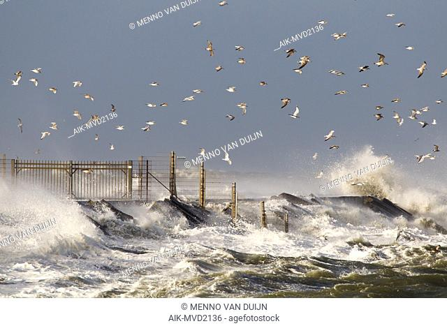 Huge waves crashing over the pier of Ijmuiden, Netherlands during severe storm over the North Sea. Flock of seagulls sheltering in the harbour