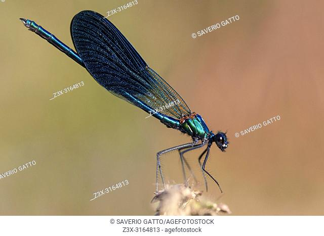 Banded demoiselle, adult male perched, Campania, Italy, Calopteryx splendens
