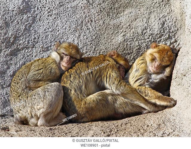 Monkeys huddle together in the cold