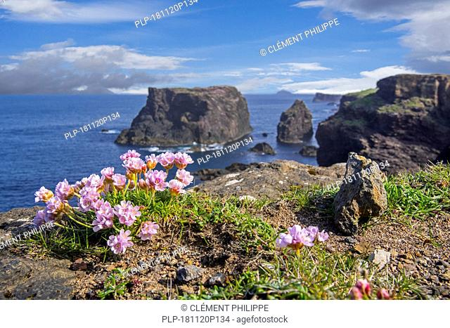 Sea pink / sea thrift (Armeria maritima) in flower in spring on cliff top at Eshaness / Esha Ness, Northmavine, Mainland, Shetland Islands, Scotland