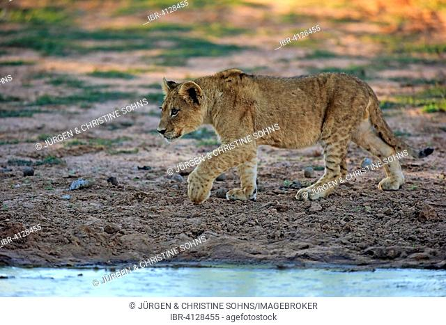 Lion (Panthera leo), cub, four months, running, Tswalu Game Reserve, Kalahari, North Cape, South Africa
