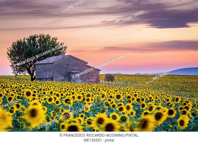 Provence, Valensole Plateau, France, Europe. Lonely farmhouse in a field full of sunflowers, lonely tree, sunset