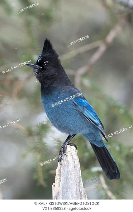 Steller's jay / Diademhaeher ( Cyanocitta stelleri ) in winter, perched exposed on top of a dead trunk, erected crest, watching attentive, Yellowstone area, USA