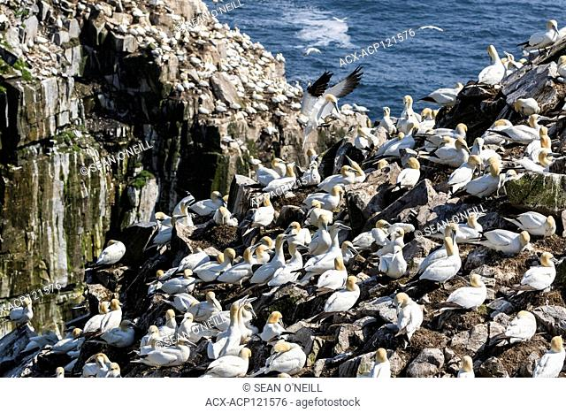 Overview bird breeding colony, Northern Gannet, Morus bassanus, Cape St. Mary's ecological reserve, Newfoundland, Canada