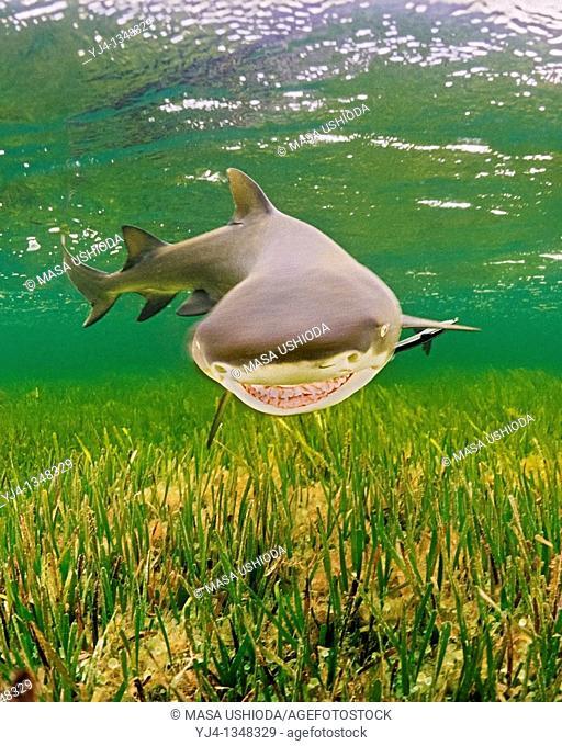 lemon shark, Negaprion brevirostris, Little Card Sound, Biscayne Bay, Key Largo, Florida Keys National Marine Sanctuary, Florida, USA, Caribbean Sea