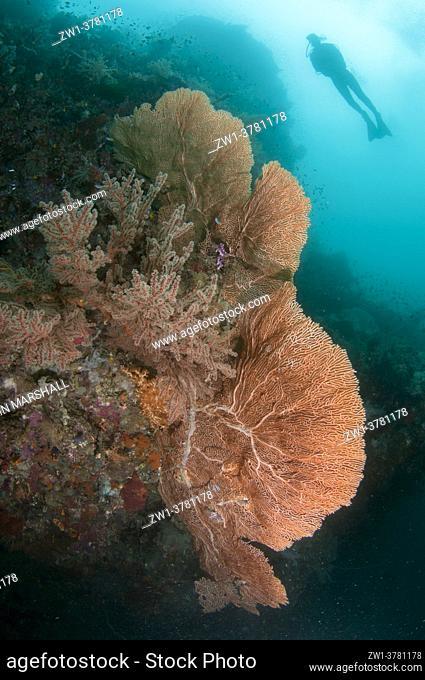 Diver above Sea Fan (Subergorgia mollis), Farondi Cave dive site, Farondi, Raja Ampat, West Papua, Indonesia