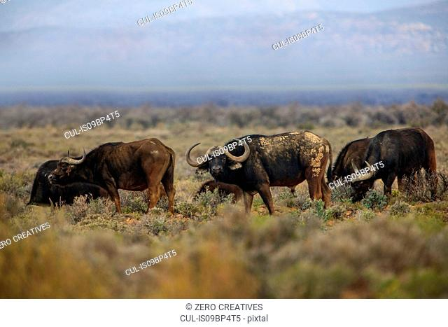 Herd of buffalo (Syncerus caffer) grazing, Sutherland, Northern Cape, South Africa