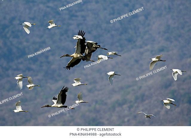 American wood ibis Mycteria americana - Parque Nacional Palo Verde, Palo Verde National park, Guanacaste, Costa Rica, Central America