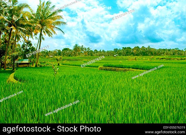 view of padi fields stock photos and images agefotostock agefotostock