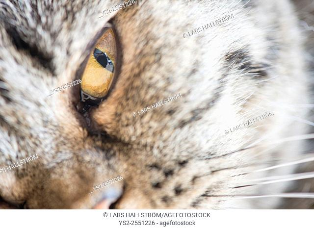 Eye of cat in extreme close up. British shorthair cat lying down and looking at camera with focused gaze