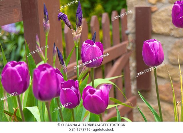 Tulips Lilas. Photo take in Pinos, Lleida, Catalonia, Spain, Europe