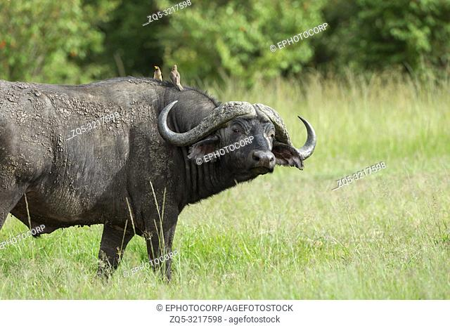 Cape buffalo, Syncerus caffer caffer and oxpeckers, Maasai Mara, Kenya, Africa