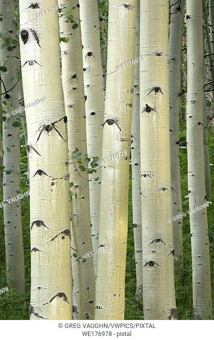 Aspen trees, Maroon Bells area, White River National Forest, Colorado