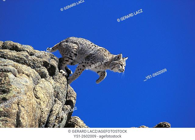 Bobcat, lynx rufus, Adult leaping from Rocks, Canada