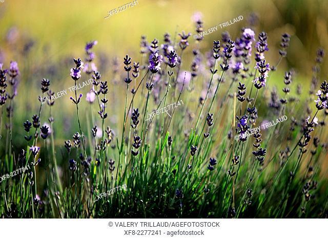 Mountain lavender in the Vallée de L'Ubaye, Alpes de Haute Provence, Provence-Alpes-Côte d'Azur, France