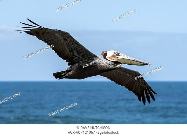 Brown Pelican (Pelecanus occidentalis), La Jolla, Southern California, USA