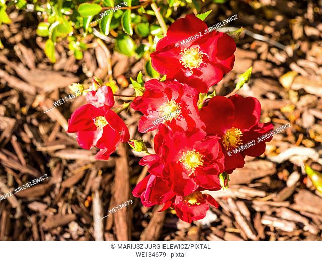Rosa canina is a variable climbing wild rose species native to Europe, northwest Africa and western Asia
