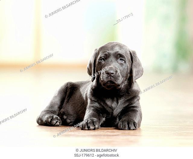 Labrador Retriever. Puppy lying on wood parquet