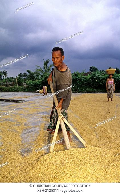 rice drying, Lombok island, Lesser Sunda Islands, Republic of Indonesia, Southeast Asia and Oceania
