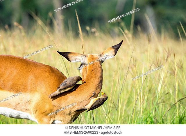 Kenya, Masai-Mara game reserve, Impala (Aepyceros melampus), and oxpeckers