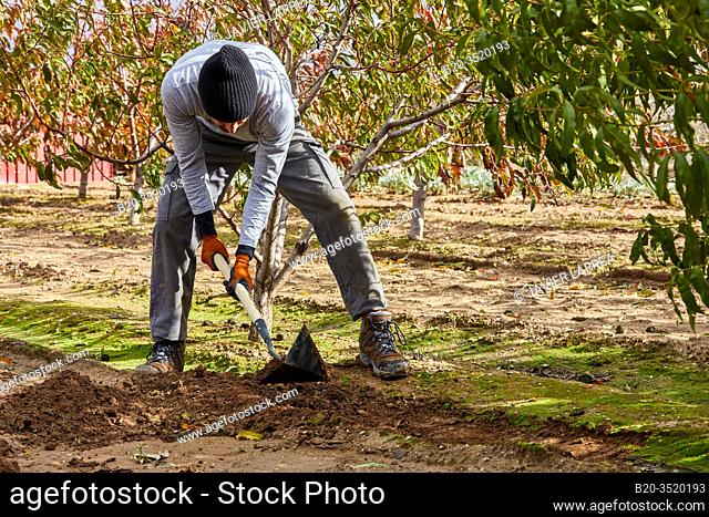 Farmer cultivating the land with hoe, Orchard, Calahorra, La Rioja, Spain, Europe