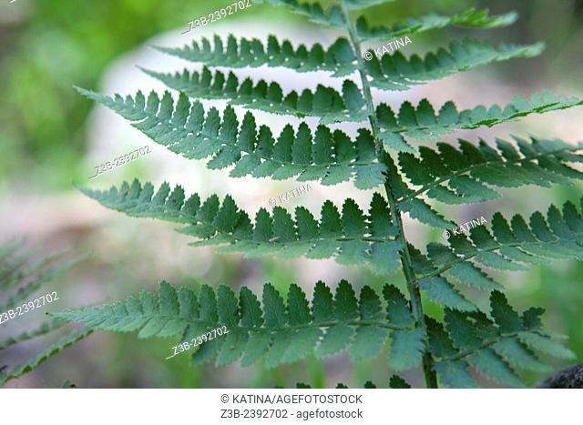Dryopteris arguta, (Common name: southern wood fern), at the Santa Barbara Botanic Garden; Santa Barbara; Santa Barbara County; California; CA; USA