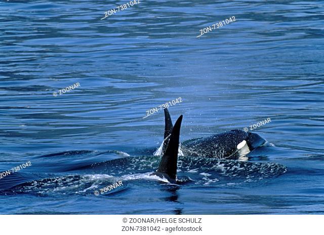 Killer Whales at the coast of Alaska