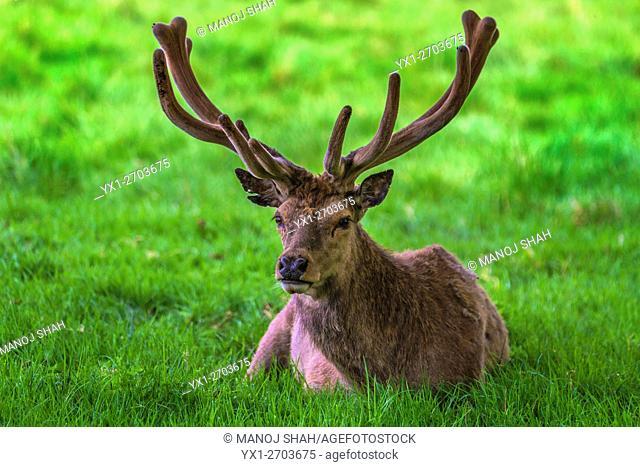 Red Deer Stag at Bushey Park, London, UK