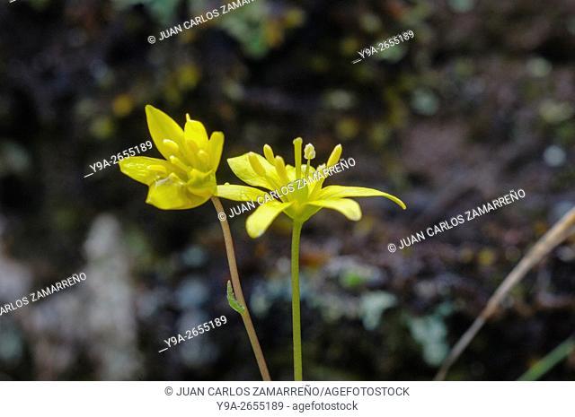 Gagea sp, yellow flowers, Liliaceae, Aldeanueva de la Sierra, Salamanca, Castilla y Leon, Spain