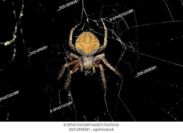 Orb-weaver spider, Araneidae, Aarey Milk Colony, INDIA. Orb-weaver spiders or araneids are members of the spider family Araneidae