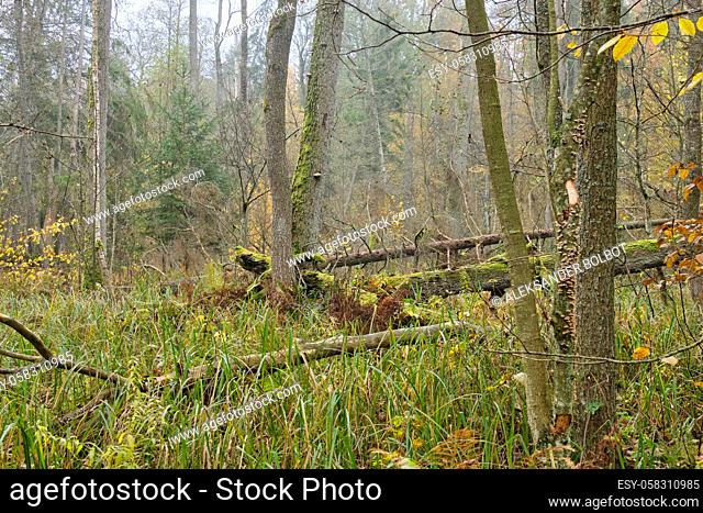 Ripariand stand in fall with reed and alder in foreground, Bialowieza Forest, Poland, Europe