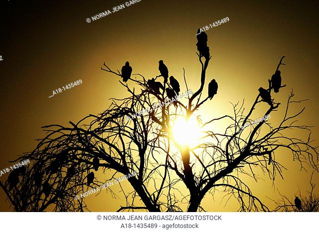 Turkey Vultures settle in mesquite trees along the Tanque Verde Creek, a watershed in the Sonoran Desert, Tucson, Arizona, USA