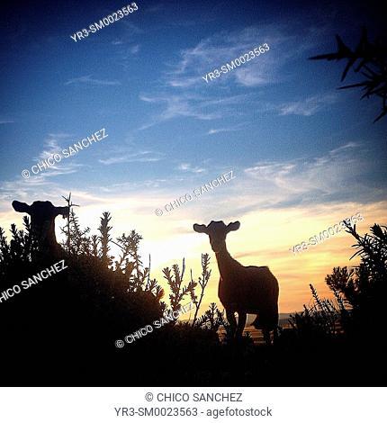 Goats at sunset in Prado del Rey, Sierra de Cadiz, Andalusia, Spain