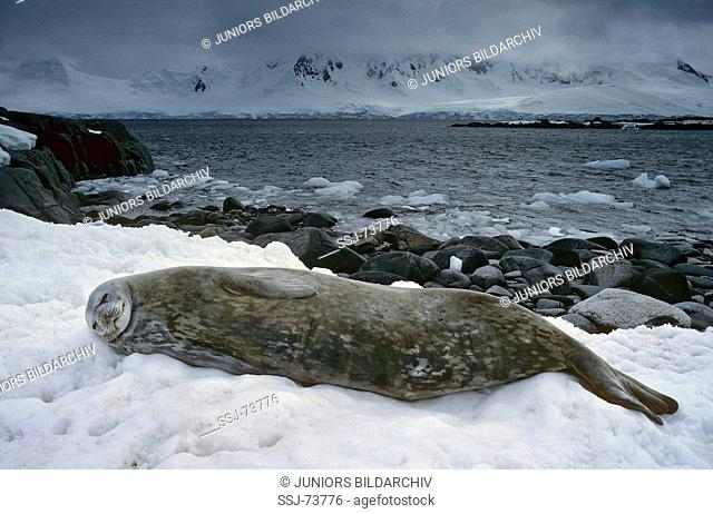 Leptonychotes weddelli / Weddell seal