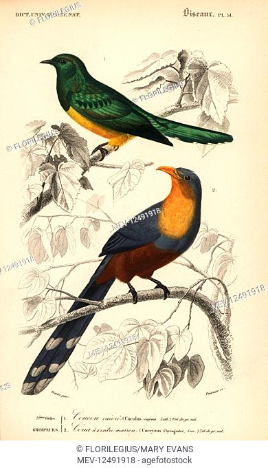 African emerald cuckoo, Chrysococcyx cupreus, and red-billed malkoha, Zanclostomus javanicus. Handcoloured engraving by Fournier after an illustration by...