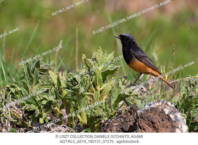 Male Black Redstart, Black Redstart, Phoenicurus ochruros
