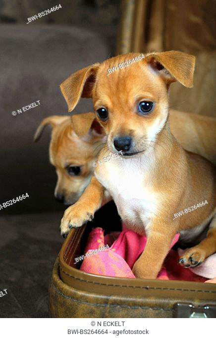 Chihuahua Canis lupus f. familiaris, two puppies in a suitcase