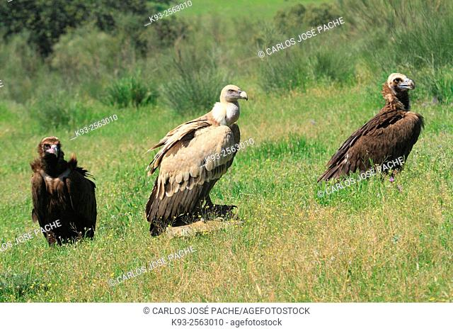 Griffon vulture (Gyps fulvus) and Cinereous vultures Aegypius monachus, Monfrague National Park, Extremadura, Spain