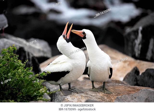 Nazca Booby (Sula granti), pair of adults on a rock, social behavior, Galapagos Islands, Pacific Ocean