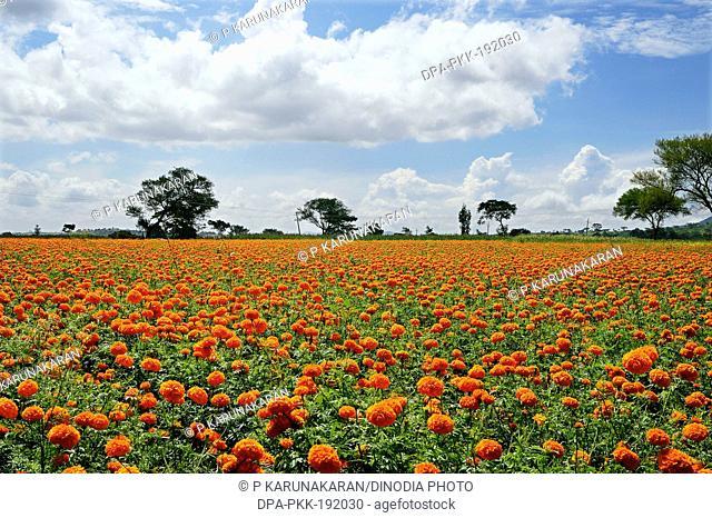 Marigold Flowers Gundlupet Karnataka India Asia