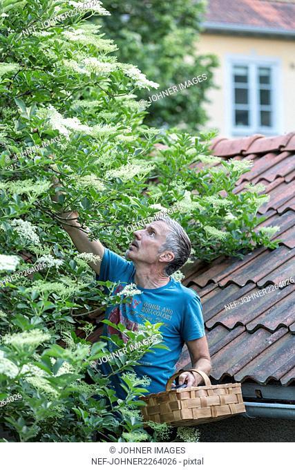 Man picking elderflowers