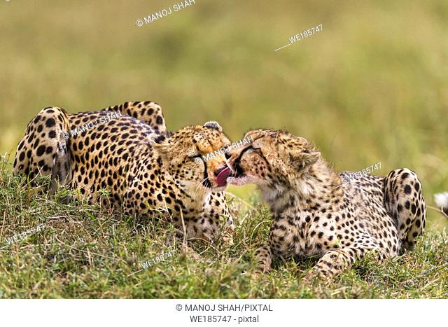 Cheetahs licking blood of kill from each other's faces