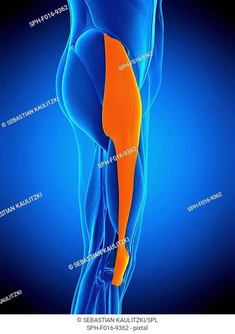 Illustration of the tensor fascia lata muscle