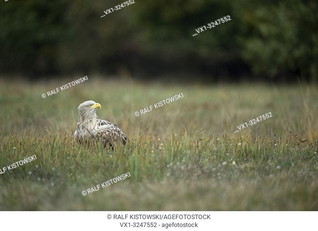 White tailed Eagle / Sea Eagle / Seeadler ( Haliaeetus albicilla ) old adult, white head, sitting on the ground in grass, watching around.