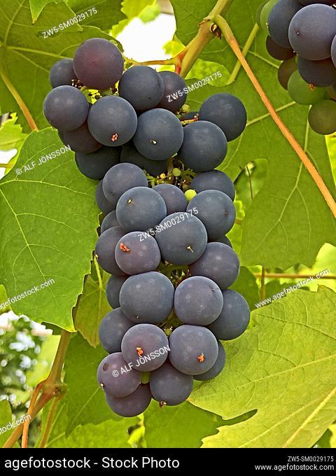 Bunch with Schuyler grapes in Ystad, Scania, Sweden, Scandinavia