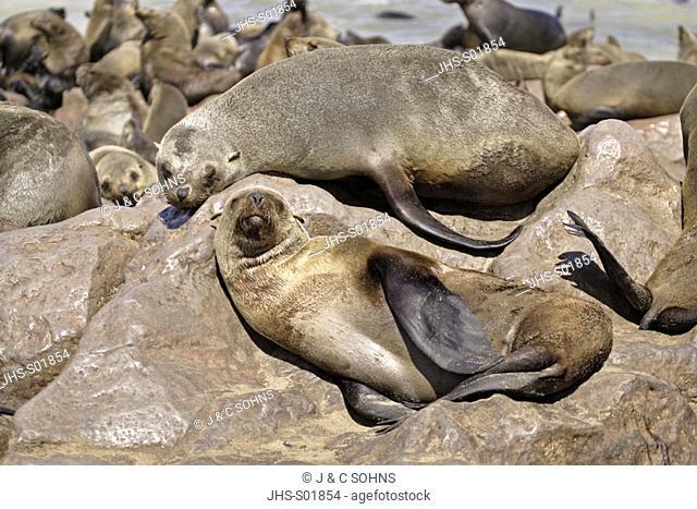 Cape Fur Seal, Arctocephalus pusillus, Cape Cross, Namibia , Africa, adult female sleeping