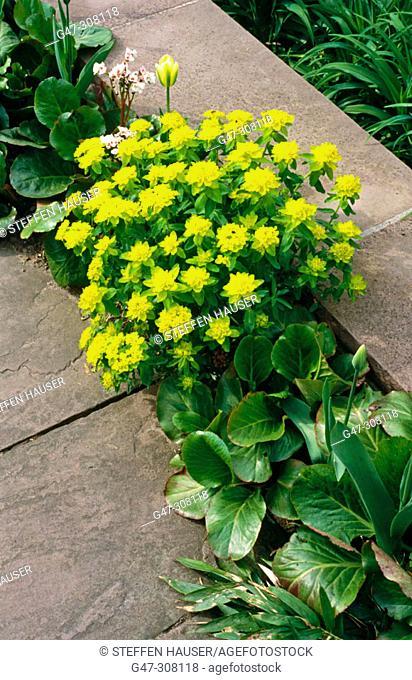 Cushion Spunge (Euphorbia polychroma)