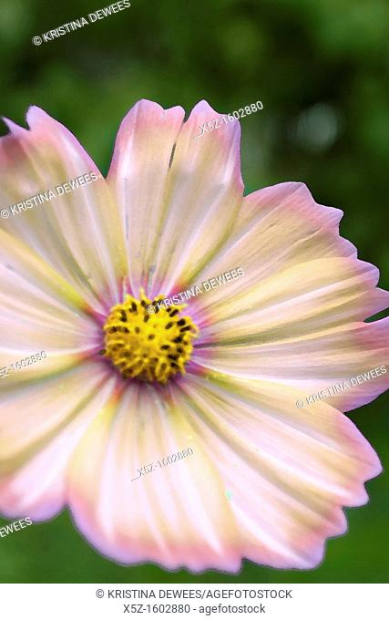 A Cosmo flower with various effects