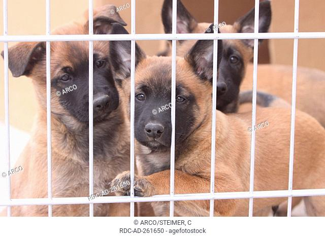 Belgian Malinois puppies in kennel