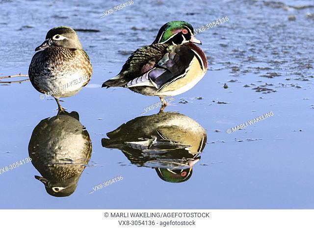 Wood duck, Aix sponsa, Burnaby Lake Regional Park, Burnaby, British Columbia, Canada